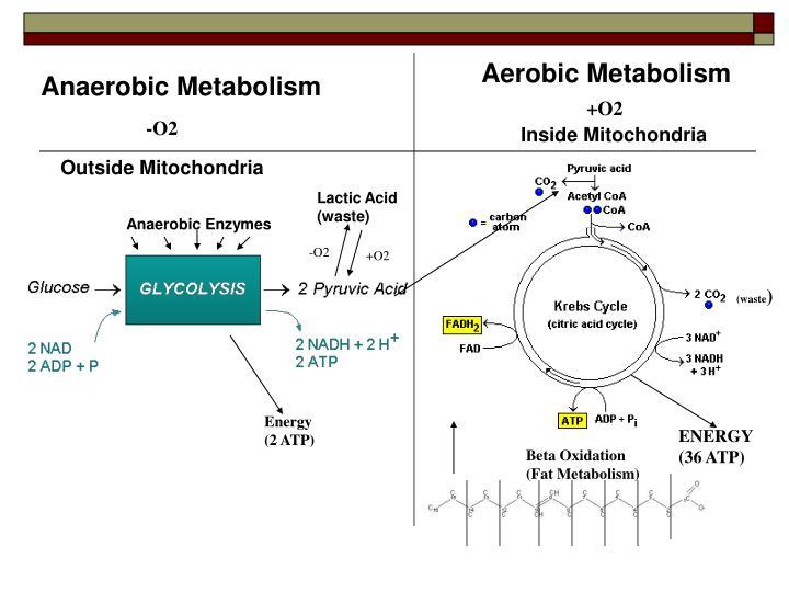 Aerobic Metabolism