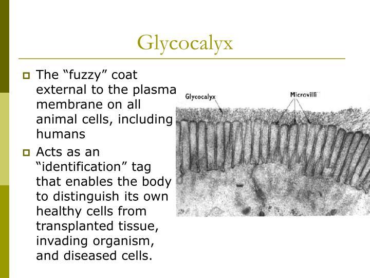 Glycocalyx