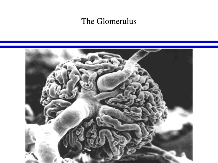 The Glomerulus