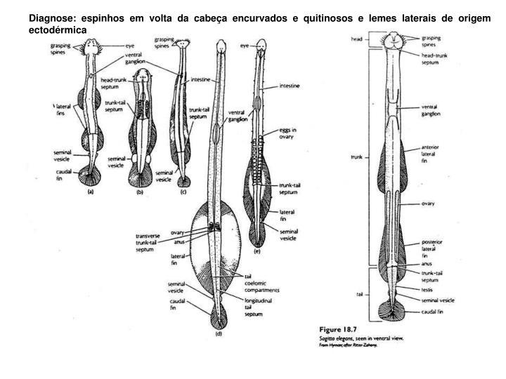 Diagnose: espinhos em volta da cabeça encurvados e quitinosos e lemes laterais de origem ectodérmica