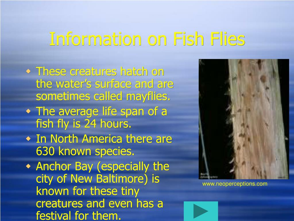 Information on Fish Flies