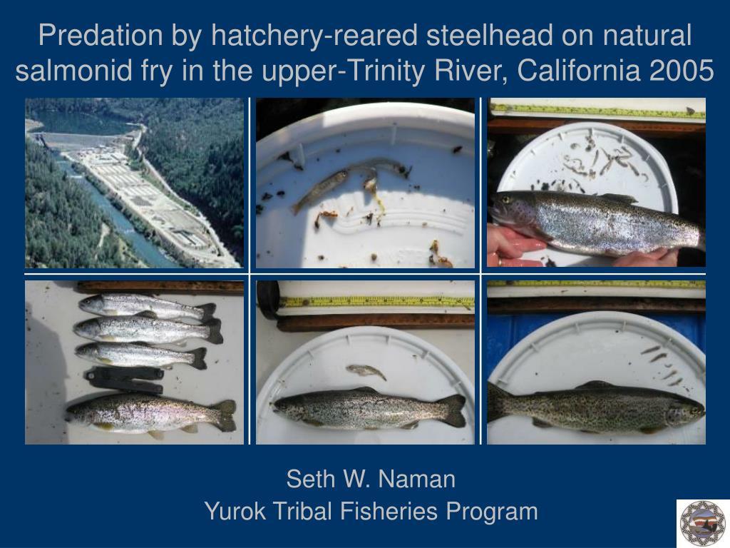 Predation by hatchery-reared steelhead on natural salmonid fry in the upper‑Trinity River, California 2005