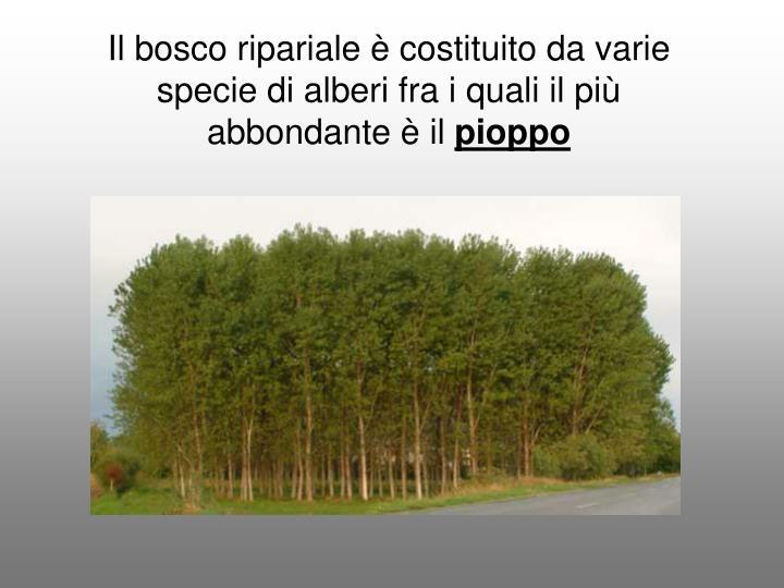 Il bosco ripariale è costituito da varie specie di alberi fra i quali il più abbondante è il