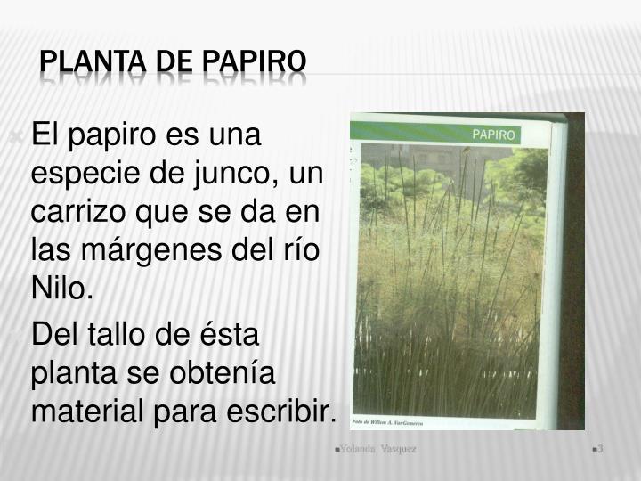 Planta de Papiro