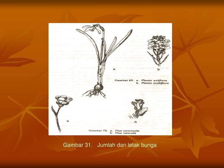 Gambar 31.   Jumlah dan letak bunga