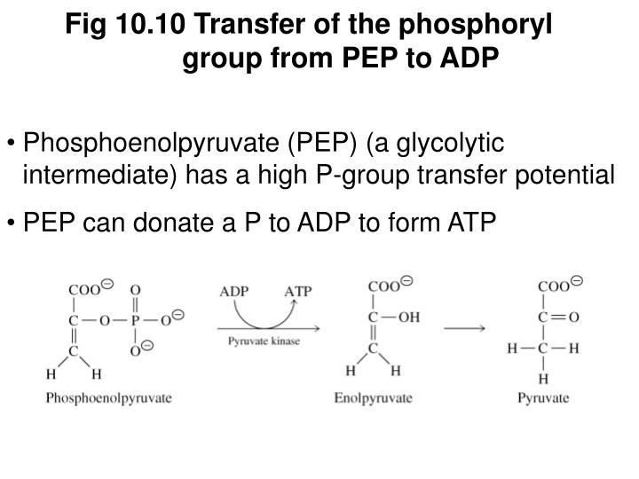 Fig 10.10 Transfer of the phosphoryl group from PEP to ADP