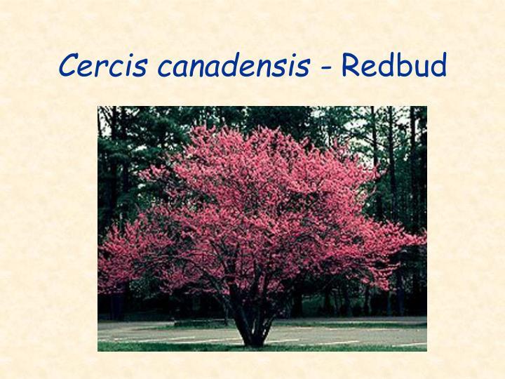 Cercis canadensis -