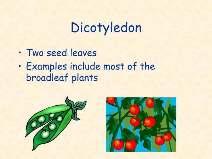 Dicotyledon