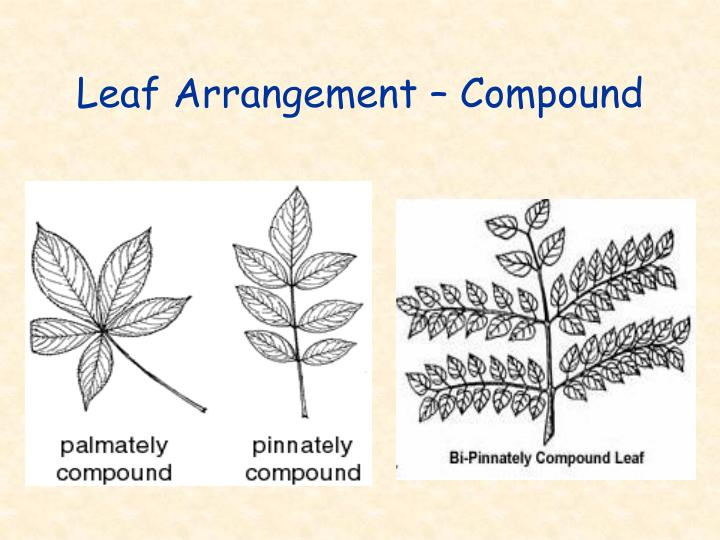 Leaf Arrangement – Compound