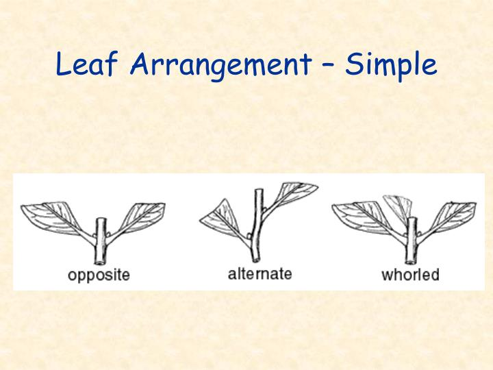 Leaf Arrangement – Simple