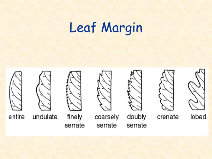 Leaf Margin