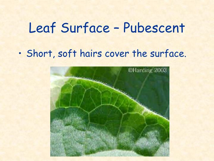 Leaf Surface – Pubescent
