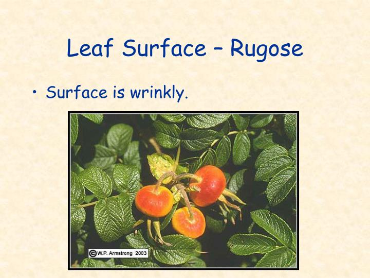 Leaf Surface – Rugose