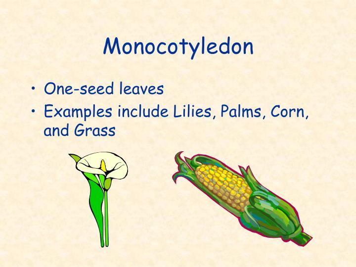 Monocotyledon