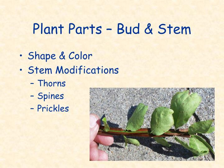 Plant Parts – Bud & Stem