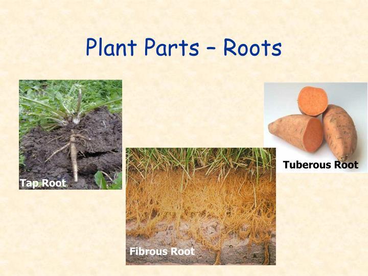 Tuberous Root
