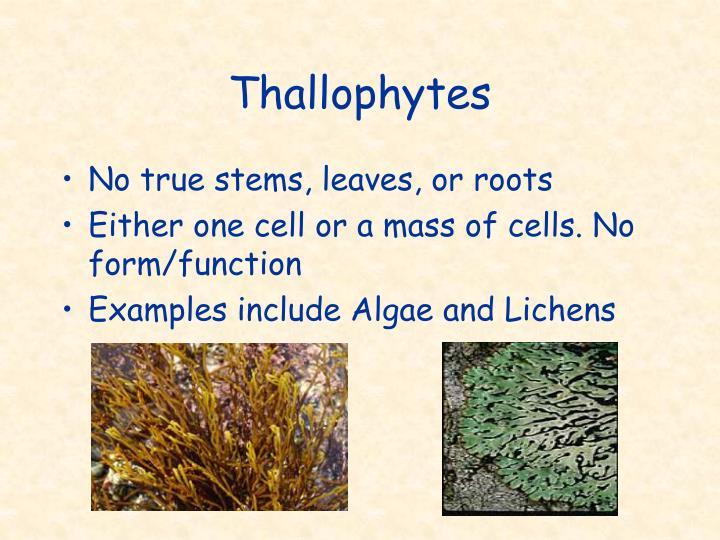 Thallophytes