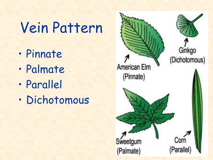 Vein Pattern