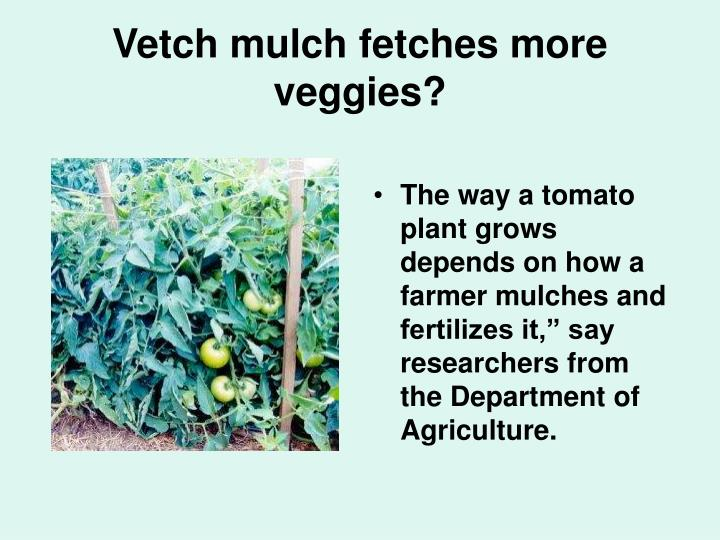 Vetch mulch fetches more veggies?