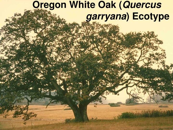 Oregon White Oak (