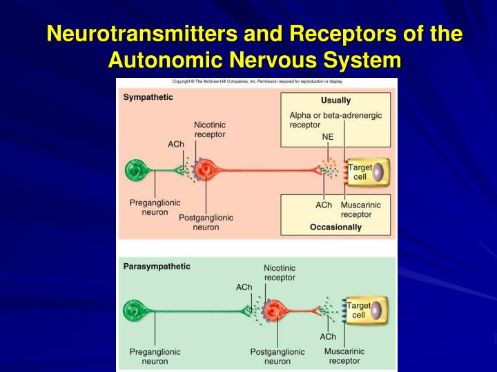 neurotransmitters the nervous system Neurotransmitters and receptors of ans dr steinmiller exam 3 study play what are the 2 main types of neurotransmitters in the ans-cholinergic-adrenegic what is an example of cholinergic neurotransmitter  -somatic nervous system adrenegic neurotransmitters are found-sns post-ganglionic.