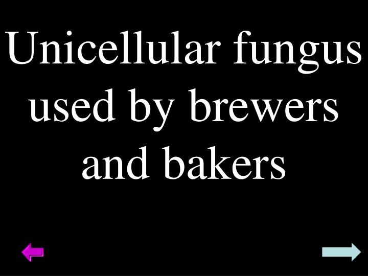 Unicellular fungus used by brewers and bakers