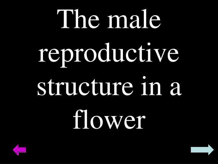 The male reproductive