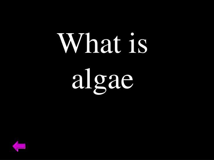 What is algae