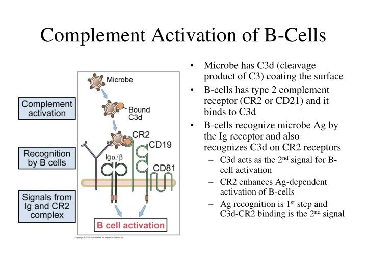 Complement Activation of B-Cells