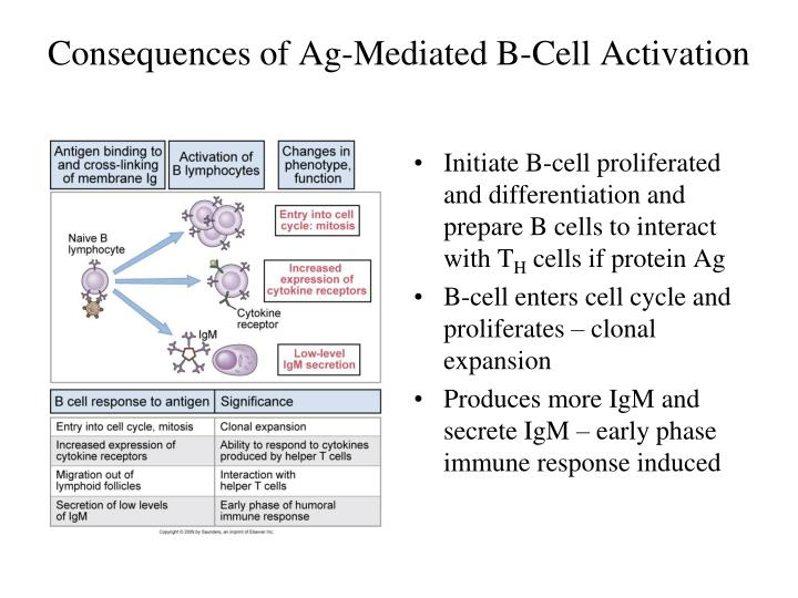 Consequences of Ag-Mediated B-Cell Activation