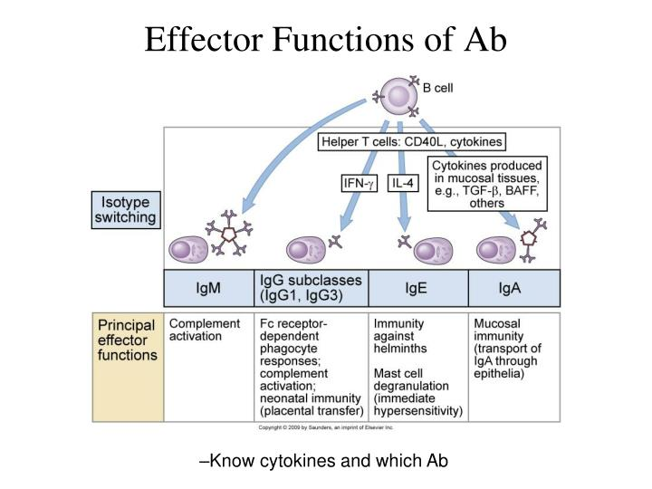 Effector Functions of Ab
