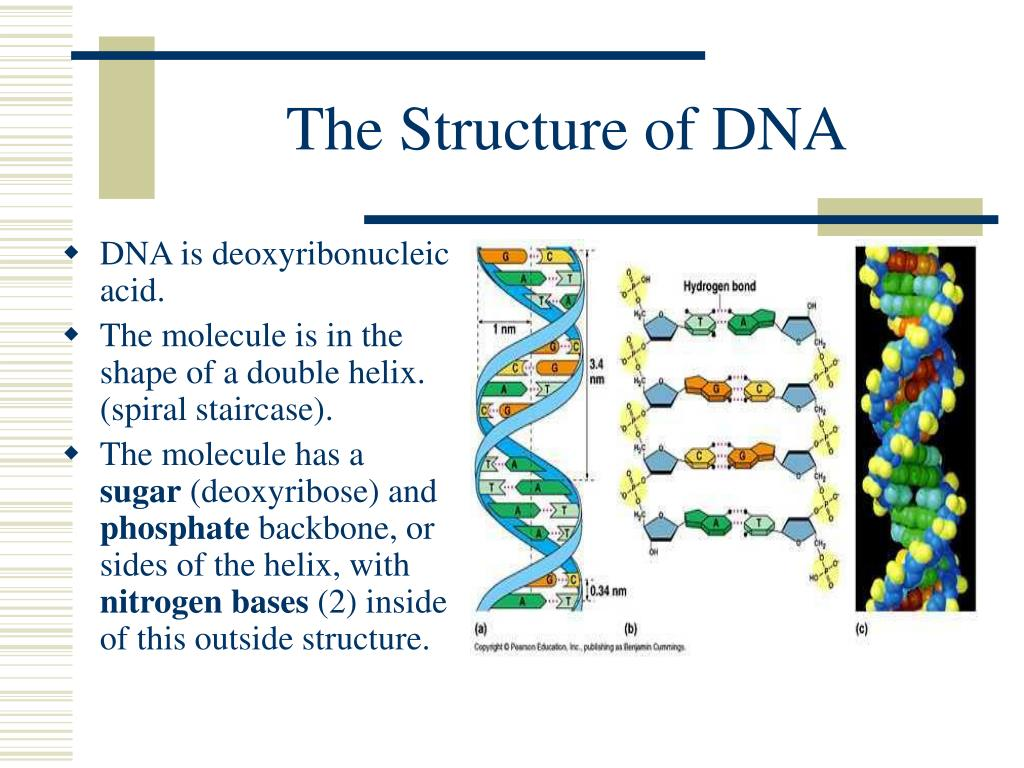 The Structure of DNA