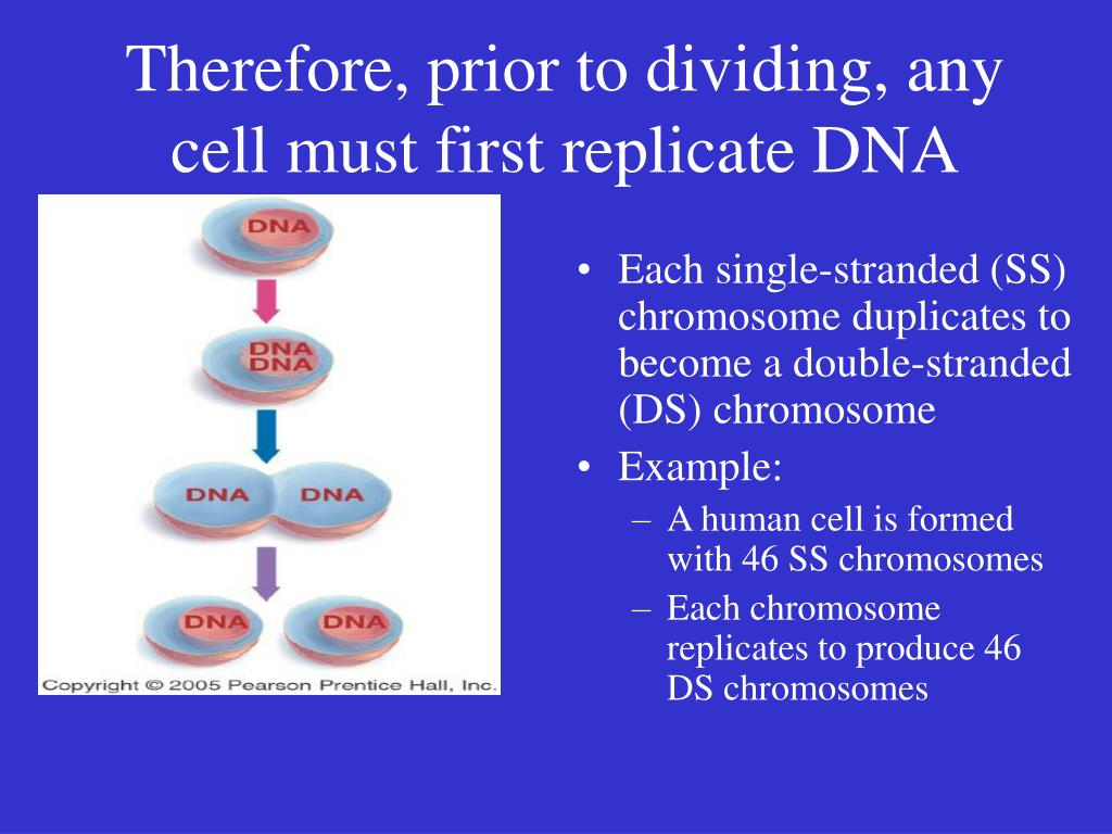 Therefore, prior to dividing, any cell must first replicate DNA