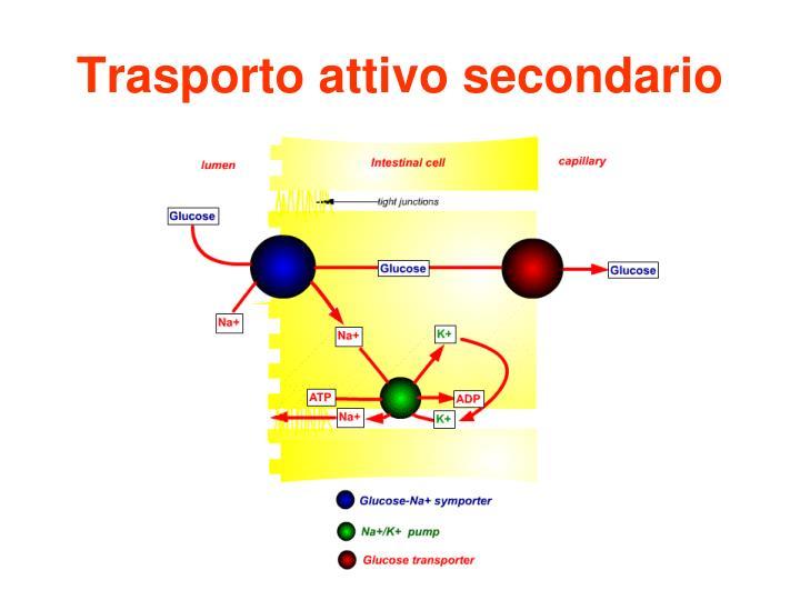 Trasporto attivo secondario