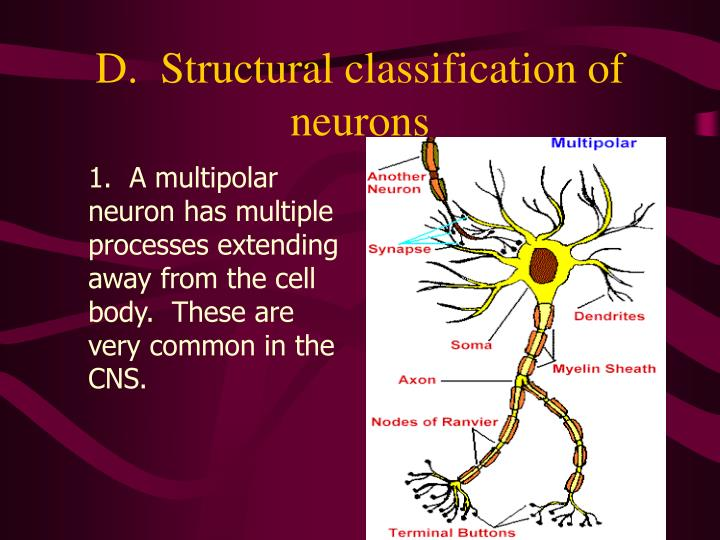 D.  Structural classification of neurons