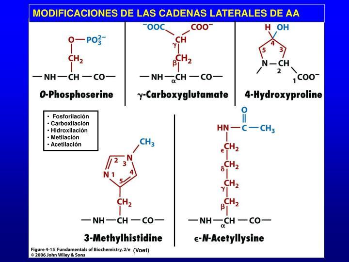 MODIFICACIONES DE LAS CADENAS LATERALES DE AA