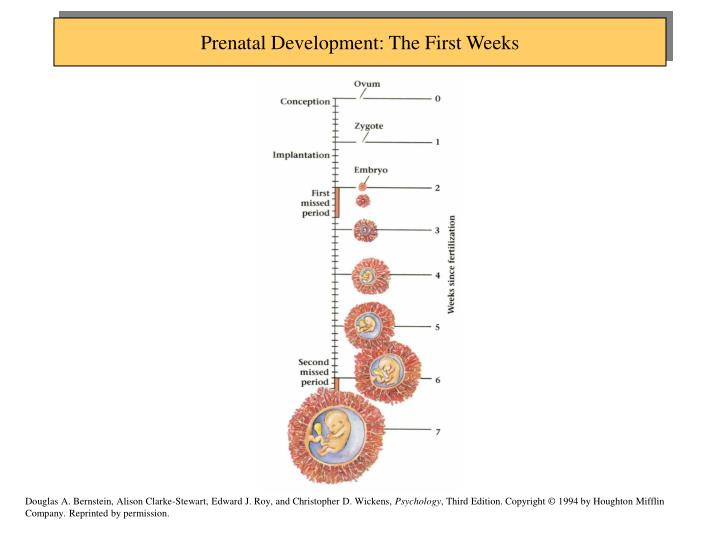 Prenatal Development: The First Weeks