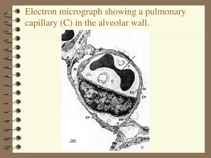 Electron micrograph showing a pulmonary capillary c in the alveolar wall