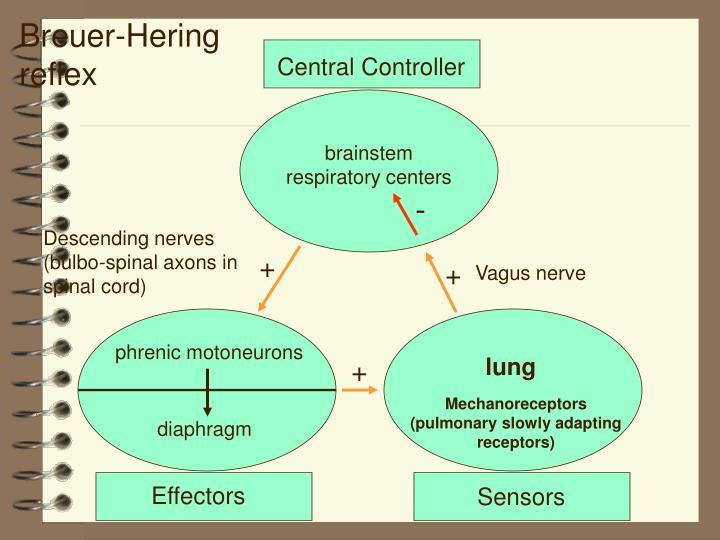 Breuer-Hering reflex