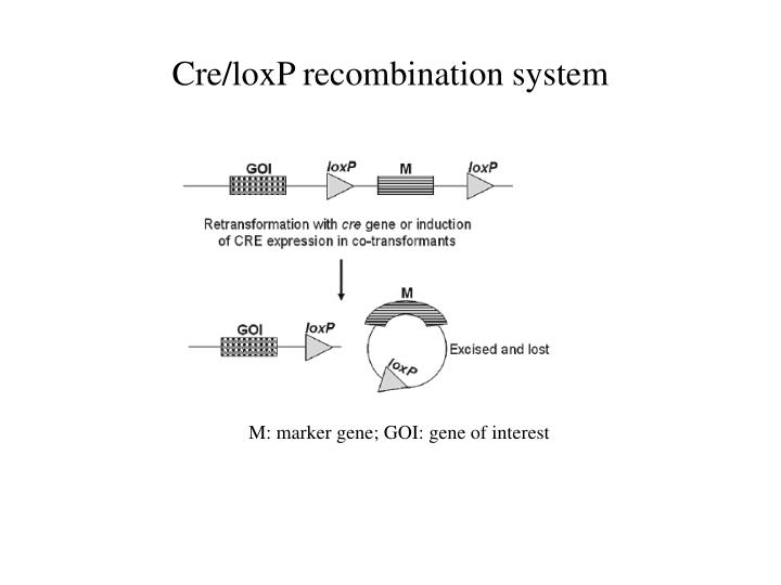 Cre/loxP recombination system