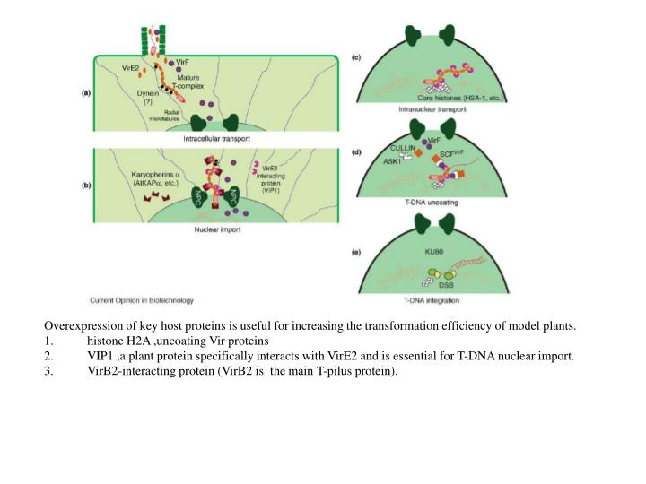 Overexpression of key host proteins is useful for increasing the transformation efficiency of model plants.
