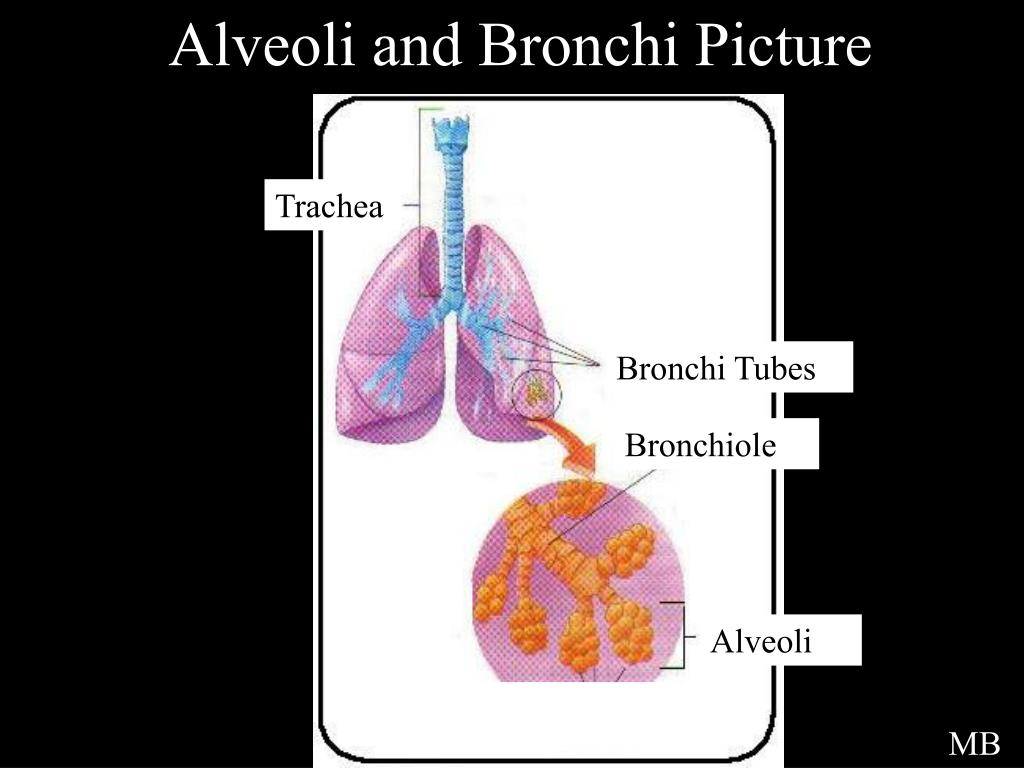 Alveoli and Bronchi Picture