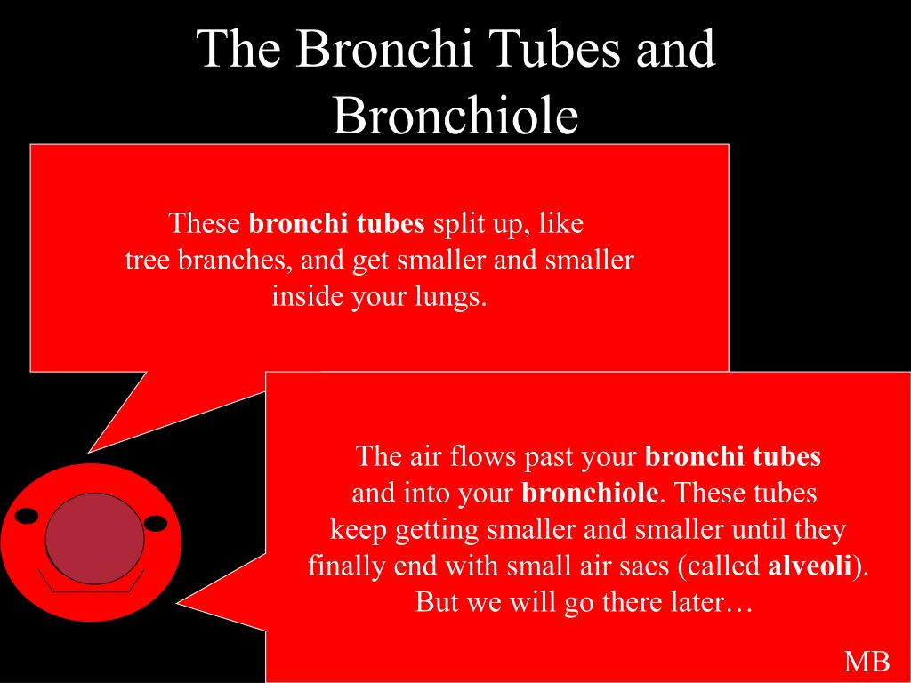 The Bronchi Tubes and Bronchiole