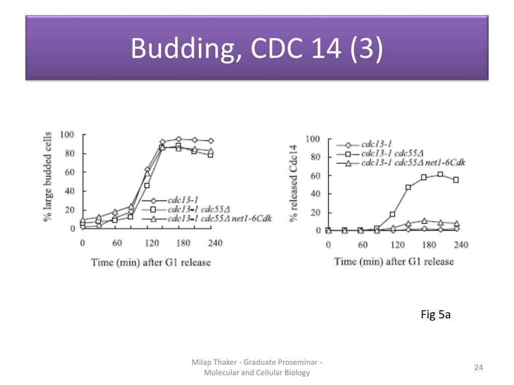 Budding, CDC 14 (3)