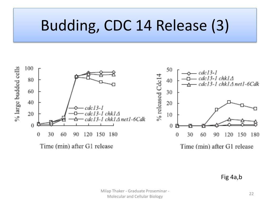 Budding, CDC 14 Release (3)