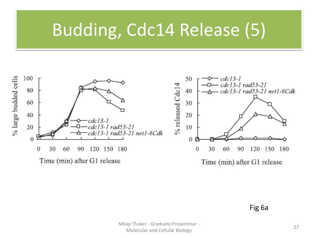 Budding, Cdc14 Release (5)