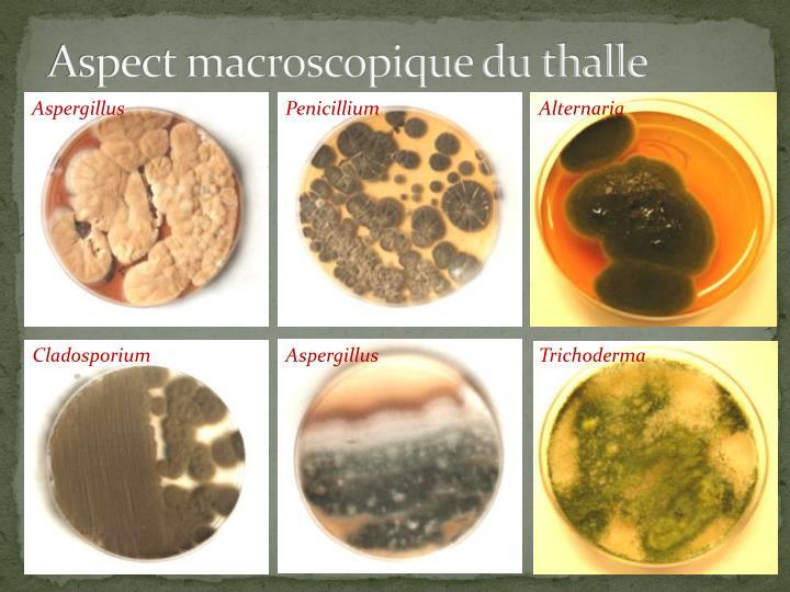 Aspect macroscopique du thalle