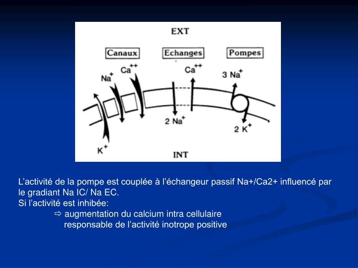 L'activité de la pompe est couplée à l'échangeur passif Na+/Ca2+ influencé par