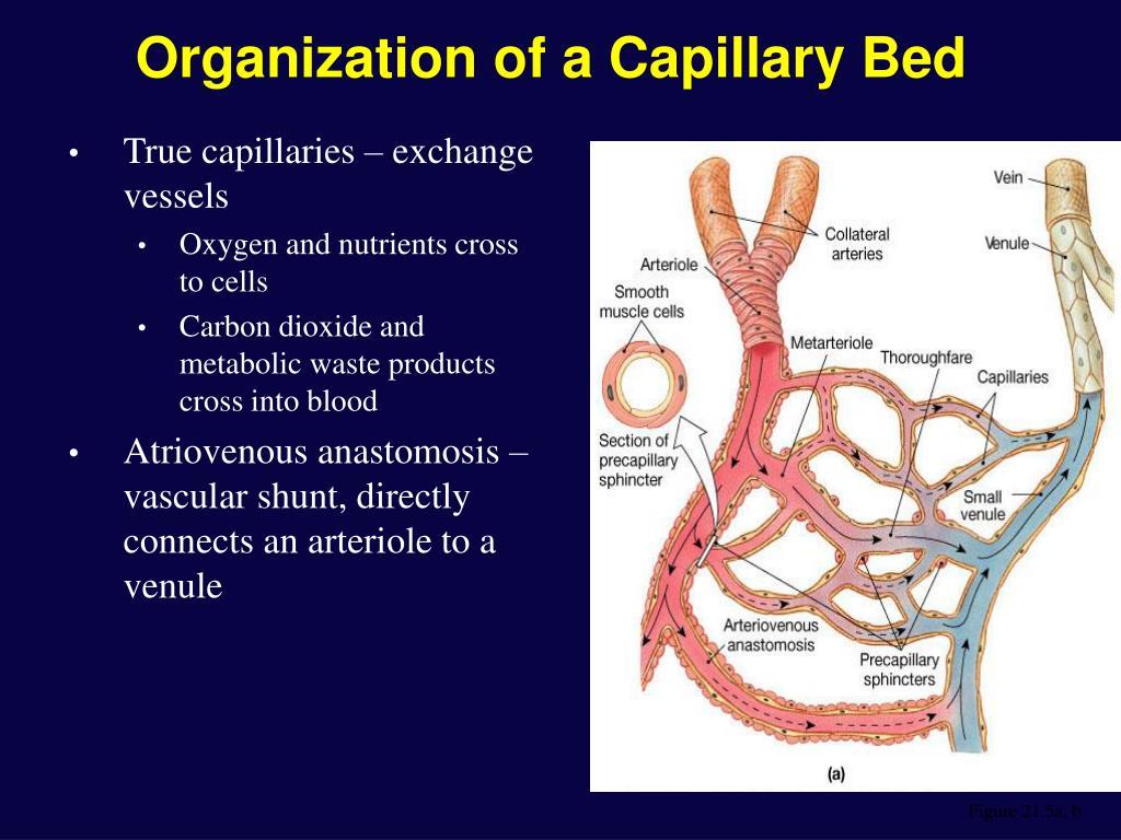 Organization of a Capillary Bed