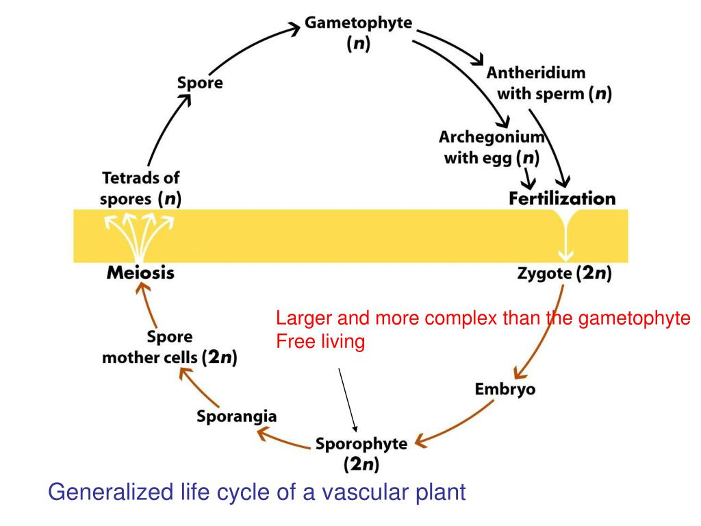 Larger and more complex than the gametophyte
